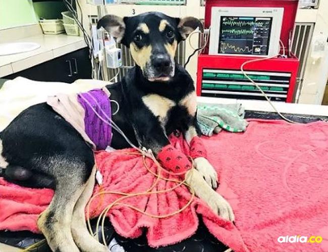 Brauny, canino que fue lanzado desde un estadio en Ecuador. | Tomada de: Twitter