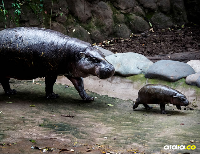 Cuando cumpla ocho meses será separado de su madre y enviado a otro zoológico para seguir con su reproducción | AFP