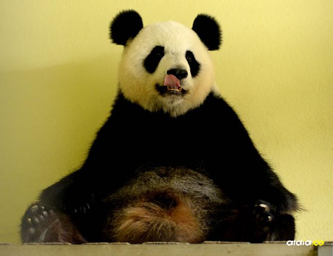 El nacimiento del primer bebé panda en Francia está previsto para el 4 o 5 de agosto | AFP