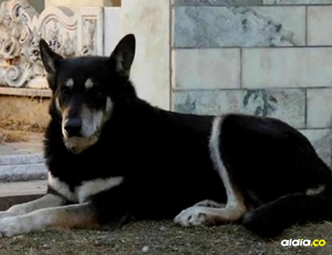 Este es Capitán, el perrito que nunca abandonó a su dueña   Infobae
