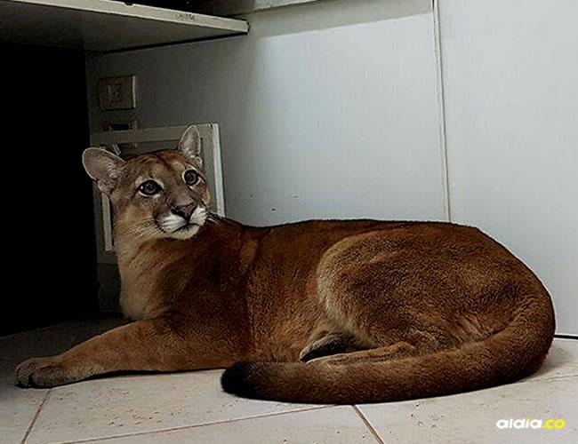 El felino se encontraba en la recepción de una fábrica en esta pequeña ciudad a 50 kilómetros de Sao Paulo, capital del estado | AFP