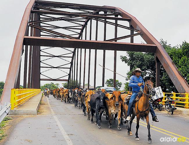 Más de dos mil vacas, que camuflaban a un grupillo de búfalos, se peleaban la vía con los carros | Al Día