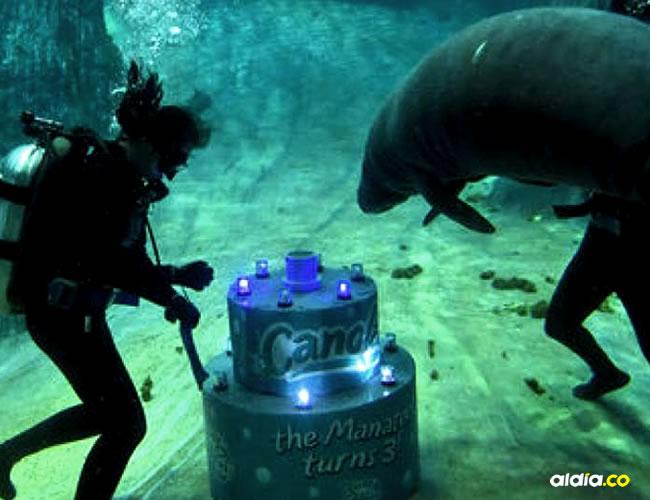Buzos le acercaron, a este mamífero de 300 kilos, un pastel de dos metros de altura hecho de batata y zanahoria | AFP