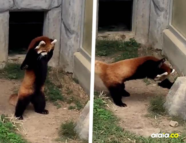 Los pandas rojos se alimentan de bambú, tienen un tamaño similar a la de un gato y viven en las montañas de Nepal | Captura