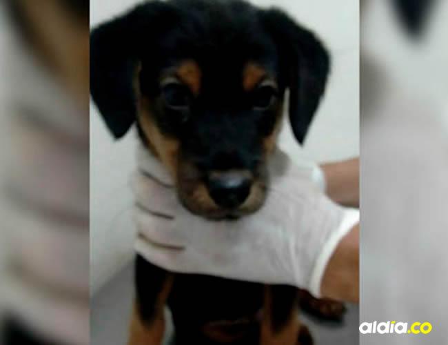 Vito mientras era atendido por los veterinarios en Villavicencio   Alejandra Rodríguez