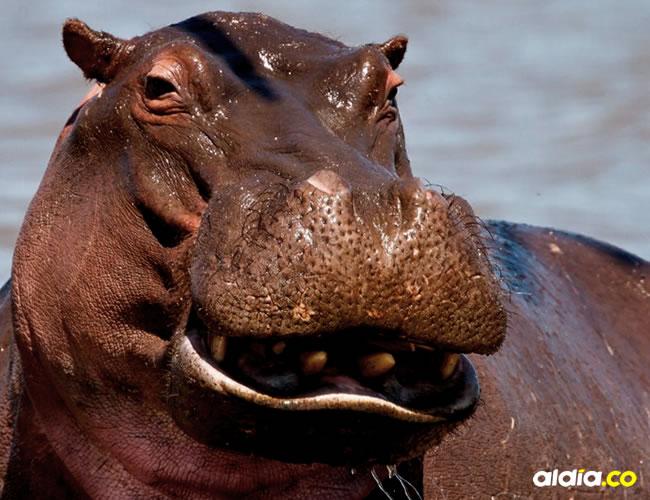 Estos mamíferos gigantes viven ríos y se alimentan de plantas | Cortesía