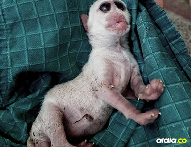 Una gata tuvo sus crías y uno de esos animales salió con cara de mico, lo cual tenía inquietos a los habitantes de Camarones, en Riohacha | Cortesía