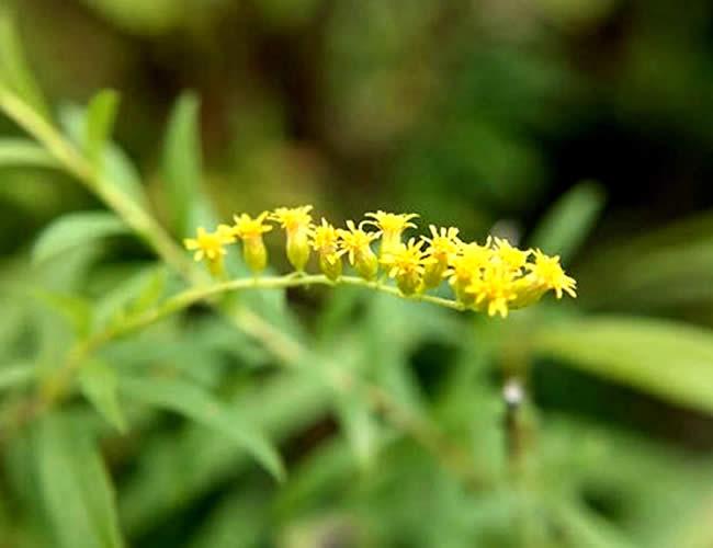 Esta especie de flor está emparentada con los girasoles | Foto: Washington Post
