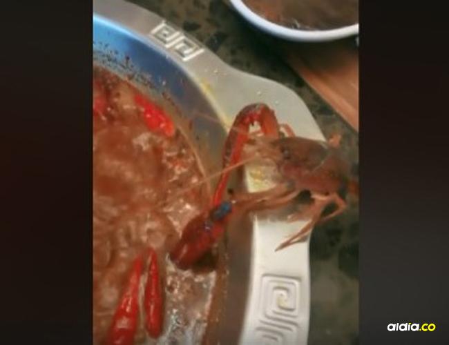 El cangrejo lucha con su tenaza derecha para amputarse la izquierda.