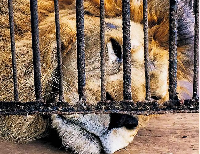 'Randu', uno de los leones en cautiverio en el zoocriadero de babillas, reposa luego de alimentarse con dos pollos | Foto: Al Día
