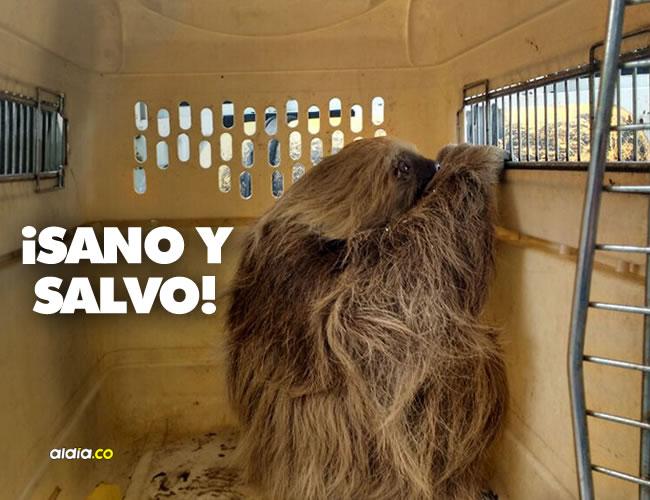 Después de tres días de zozobra, los organismos de rescate y la empresa de energía consiguieron poner a salvo al oso perezoso | Twitter