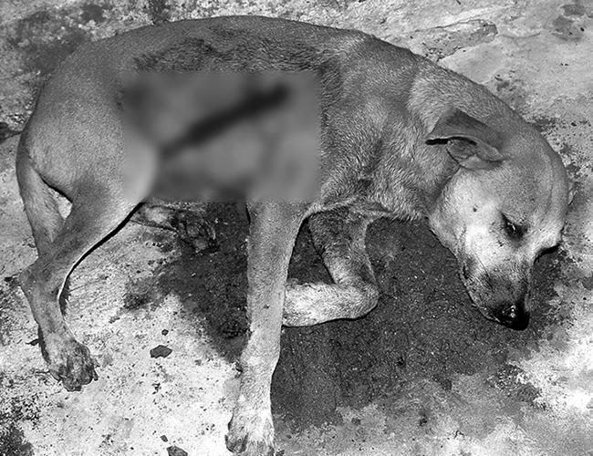 'Celín', el perro criollo de 7 años atacado de una cuchillada por sujetos desconocidos, al adoptar una actitud valerosa de evitar el robo de un refrigerador de su amo | Foto: Johnny Olivares