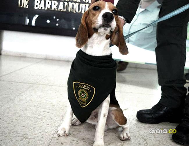 Según la Policía, la banda usaba a este canino de raza 'beagle' para atracar a las veterinarias en distintos barrios de la ciudad | Cortesía