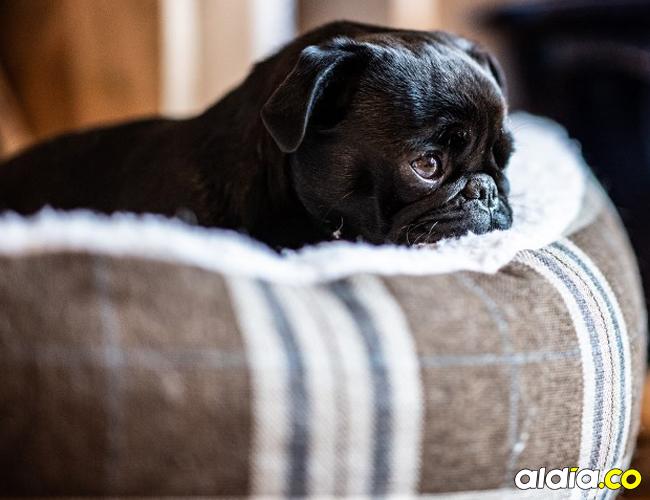 Edda, una perra de raza pug, confiscada por las deudas de sus amos   AFP