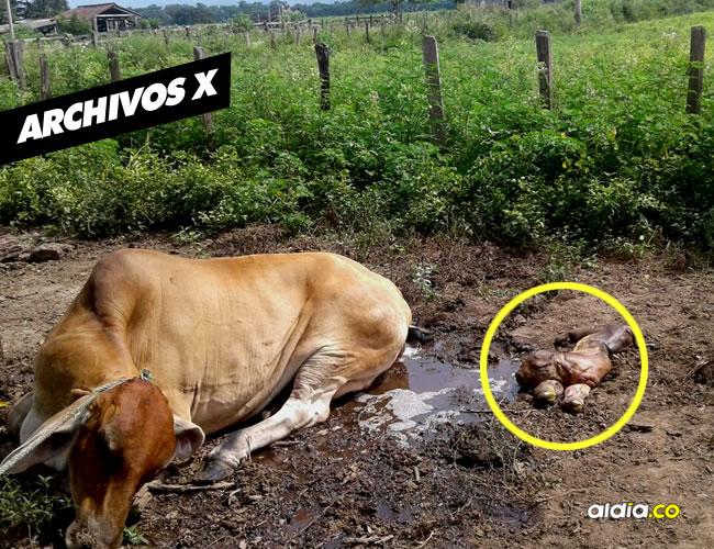 Tremenda sorpresa se llevaron los lugareños de una zona rural de Riohacha cuando vieron el nacimiento del primer ternero de la vaquita Esperanza | Al Día