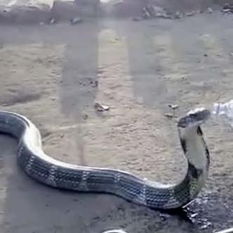 La cobra estuvo lejos de violentarse o atacar | Captura de vídeo