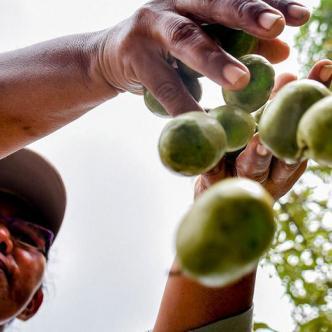 Alrededor de 500 familias campechanas viven de la ciruela y sus derivados.