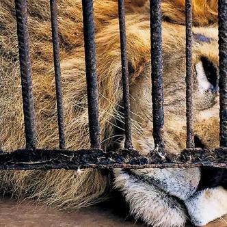 'Randu', uno de los leones en cautiverio en el zoocriadero de babillas, reposa luego de alimentarse con dos pollos   Foto: Al día