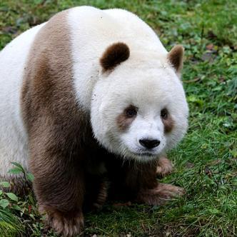 Qizai tiene 7 años y es el único oso panda marrón del mundo. | Daily Mail