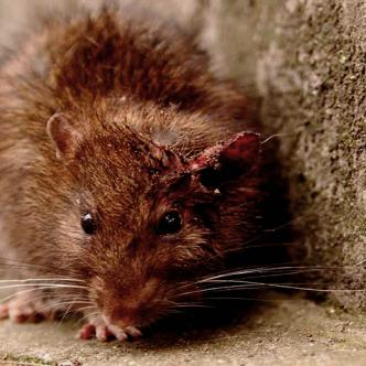 Las ratas pueden ser muy agresivas y atacar humanos cuando se ven encerradas | Al Día