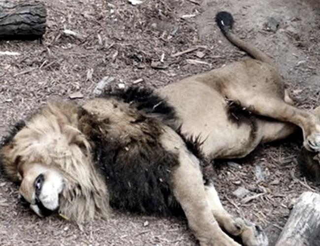 Dos de los leones tuvieron que ser sacrificados para salvar la vida del joven de 20 años. | Foto: diaadia.com.ar